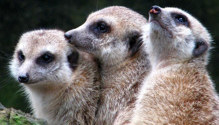meerkat-1309608 700x400